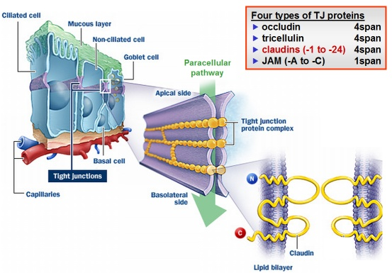 Endothelial tight junction proteins essay